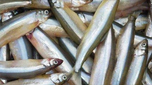 На Онежском озере в этом году небывалый улов корюшки